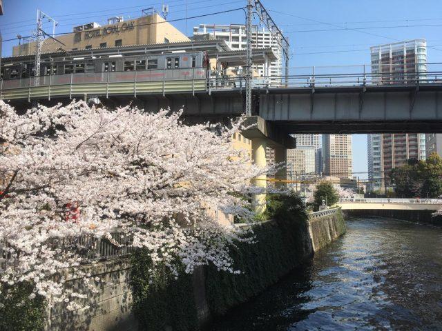都内は桜満開です!
